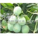 Langro Mango Plants