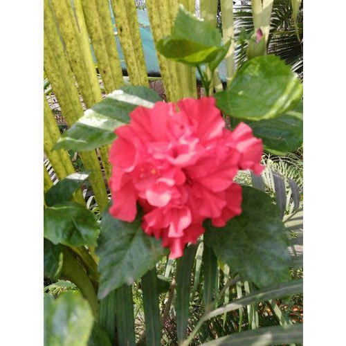Hibiscus Tree At Rs 100 Piece फलदर पध