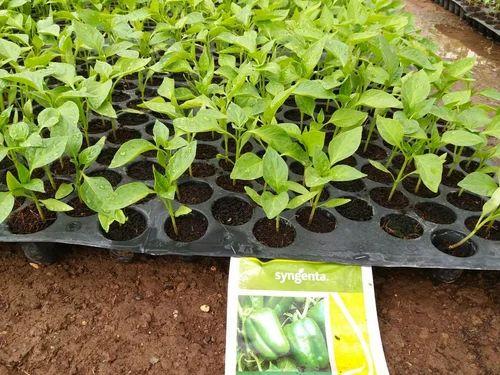 Green Chilli Seedling Plant