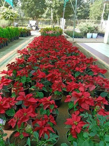 Poinsettia Garden Plant At Rs 300 Piece À¤¬à¤— À¤š À¤• À¤ª À¤§ À¤¬à¤— À¤š À¤• À¤² À¤ À¤ª À¤§ À¤— À¤° À¤¡à¤¨ À¤ª À¤² À¤Ÿ Umarose Nursery Farm Gandhinagar Id 21704196555