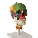 Didactic Human Skull Model on Cervical Spine, 4 part