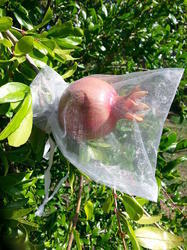 Pomegranate Tree Fruit Cover