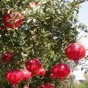 Organic Pomegranate Plant