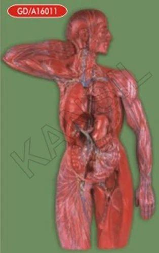 Lymphatic System For Medical Model, Human Anatomy Models, मानव ...