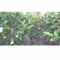 Seedless Guava Plants