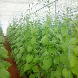 Cucumber Nets