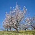 ALMOND / BADAM TREE SEEDS