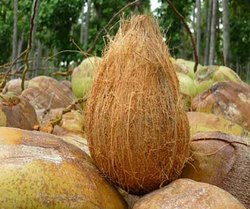 A Grade Pollachi Semi Husked Coconut, Packaging Size: 10 Kg, Coconut Size: Large