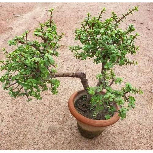 Bonsai Jade Plant À¤¬ À¤¨ À¤¸ À¤ˆ À¤ª À¤§ Evergreen Nursery New Delhi Id 20120690033
