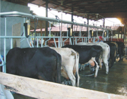 Line Milking Parlor