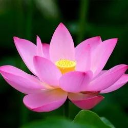 Lotus Flower Pink Oil