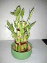 A Grade Vastu Plant For Decoration