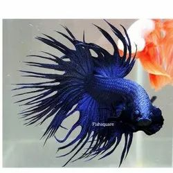 Imported Betta Fish (Fishsquare), Size: S-m-l for Fish Keeping And Breeding