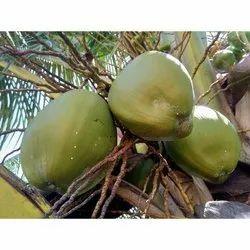 Natural Tender Coconut