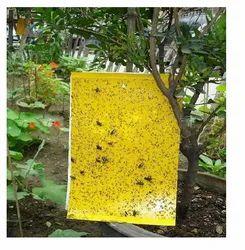 Yellow Sticky Trap