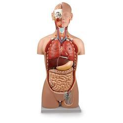 Human Torso Model