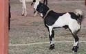 Gujri Goats