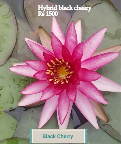 Waterlily / Kamal  Plant