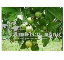 l 49 Guava Plants