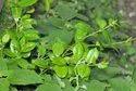 Gymnema Sylvestre - Gudmar - Sirukurinjan Leaves