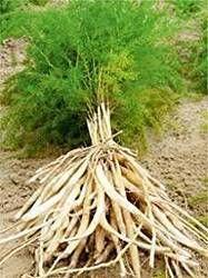 SatavarShatavariまたはShatamull-アスパラガスRacemosuslive植物