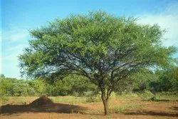 Acacia Nilotica Tree