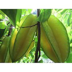 STAR FRUIT PLANTS