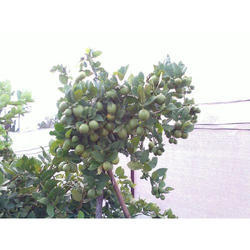 Seedless Lemon Tissue Culture Plants