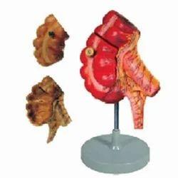 Appendix & Caecum ( BEP/A 12006 )