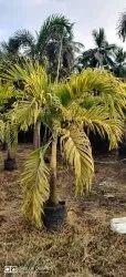 Veitchia Merrillii Golden