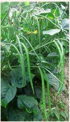 Kashi Green Cowpea Seeds