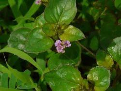 Santhi/punarnava (Boerhaavia Diffusa)