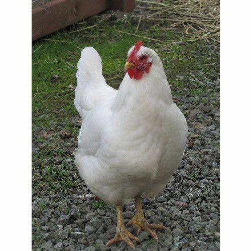 white hen at rs 70 kilogram khatiwala tank indore id 15579110862