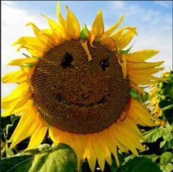 Hybrid Sunflower Aadit