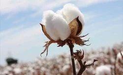 Non BT Cotton Seeds
