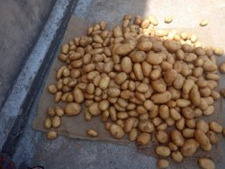 A Grade Fresh Indian Potatoes, 20-50 Kg