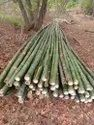 Treated Bamboo for Sale india