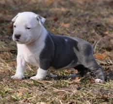 Pitbull dog breed at rs 25000 unit pitbull puppies id 12181008912 pitbull dog breed voltagebd Image collections