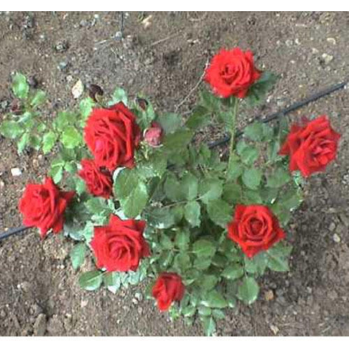 Red Hybrid Rose Plant Rs 7 5 Piece