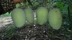 Full Organic Fresh Mango, Packaging Size: 10 Kg, Packaging Type: Carton