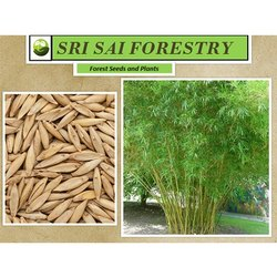 Bamboo Tree Seeds