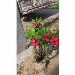 Green Euphorbia Mili Plant, Packaging Type: Bag