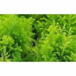 Shatavari Asparagus Racemoces Plants