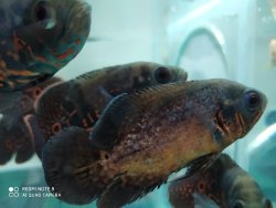 Black Oscar Fish, For Home