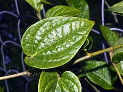 Pan Patta Dry - Betel  Dried Leaves - Tambula