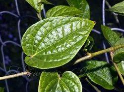 Pan Patta - Betel  Leaves - Tambula