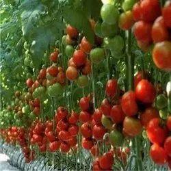 Arka Samrat Tomato Seed