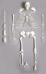 Disarticulated Skeleton (Human Anatomical)