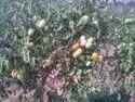 Bio Potash Granule