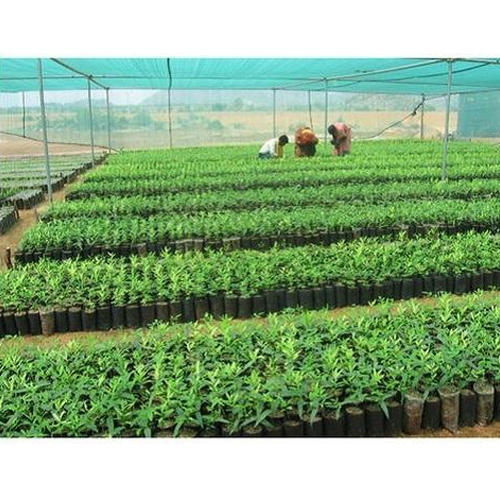 Green White Sandal Plants Nursery, Packaging Type: Poly Bag